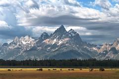 grand tetons (~Abby) Tags: wyoming grandtetons bison buffalo july