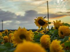 Last days of Summer (GH#Photography) Tags: canon eos 600d outdoor kontrast farben sonnen sonnenblumen felder himmel wolken moment tiefenschrfe pflanzen flora blumen grn bunt gelb mast holz