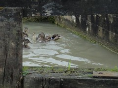 2016 06 01 070-1 Grand Union Canal (Mark Baker.) Tags: 2016 baker eu europe june mark britain british canal day duck duckling england english european gb grand great kingdom lock mallard outdoor photo photograph picsmark rural summer uk union united warwickshire