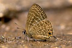 lonolyce helicon - the Pointed Line Blue (BugsAlive) Tags: butterfly butterflies mariposa papillon farfalla schmetterling бабочка conbướm ผีเสื้อ animal outdoor insects insect lepidoptera macro nature lycaenidae ionolycehelicon pointedlineblue polyommatinae wildlife lamnamkoknp chiangrai liveinsects thailand ผีเสื้อฟ้าขีดปีกแหลม