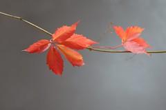 Creeper (The Good Brat) Tags: co us minimalism foliage vine orange colorful garden minimal minimalist simple autumn