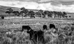 Harwood . (wayman2011) Tags: canon50d lightroom wayman2011 bwlandscapes mono trees cows farmannimals pennines dales teesdale harwood countydurham uk