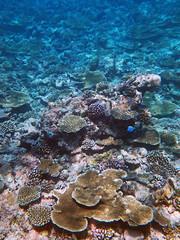 Underwater Garden (Nikita Hengbok) Tags: naturephotography fauna animals nature wildlifephotos wildlifepics wildlifephotography fishes marinecreatures marinecreaturesofmaldives macrophotography marineanimals marineanimalsofmaldives vacationinmaldives maldives sunislandresort tropicalparadise nalaguraidhooisland snorkelling snorkellinginmaldives corals coralsinmaldives
