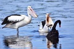 We don't like Swans around here (Luke6876) Tags: australianpelican pelican blackswan swan bird animal wildlife australianwildlife