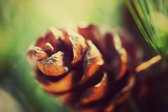 Macro: Pine Cone (Jon-F, themachine) Tags: pinecone canon 5d dslr sir   macro  macrolens snapseed japan  nihon nippon   japn  japo xapn asia  asian fareast orient oriental aichi   chubu chuubu   nagoya  outdoors  nature  plant plants  flora