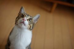 DSC_0312 (catfish.boogie) Tags: nikond750 nikkor50mmf18g japan hokkaido sapporo cat