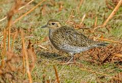 DSC4320  Golden Plover.. (jefflack Wildlife&Nature) Tags: goldenplover plovers plover birds avian wildlife wildbirds wetlands waders moorland heathland marshland countryside coastalbirds nature