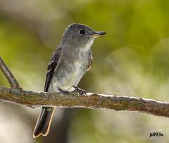 Eastern Wood-Pewee (jt893x) Tags: 150600mm bird contopusvirens d500 easternwoodpewee flycatcher jt893x nikon nikond500 pewee sigma sigma150600mmf563dgoshsms specanimal