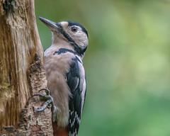 Woody (davidrhall1234) Tags: greatspottedwoodpecker woodpecker wildlife wildlifetrust world yorkshire ywt yorkshirewildlifetrust adeldamnaturereserve nature nikon nikond7100 woodland