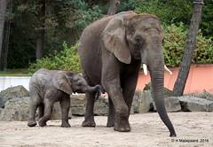 Nog een leuke foto van het jonge olifantje Madiba (ditmaliepaard) Tags: olifant madiba safaripark beeksebergen hilvarenbeek a6000 sony