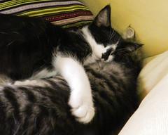 Sleepy Sisters (Alien Encounter) Tags: sleep sleepy kitty kitties kitten kittens fluffy soft nikon coolpix p500 animal animals feline