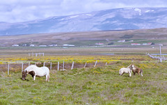 Home on the Range _5383 (hkoons) Tags: icelandichorse kotblikuklarans northwesticeland skagipeninsula westfiords westfjords barbedwire openair clouds fence horses iceland strandir animals cabin caged corral equestrian farm fenced fencing field fiord fjord foothill grass grassland graze grazing green greens hill horse island landscape magic mammal mammals mountainside nature north outdoor pets ranch riding sky sorcery sun witch witchcraft ngeyrar