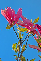magnolia tree in bloom (joybidge (back from vacation)) Tags: flowers flower magnolia victoriabc floweringtrees naturepatternscanada trishcanada tsapril292013