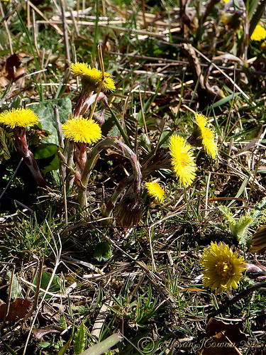 The coltsfoot Tussilago farfara family