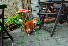 Where to go first? (Athanassia) Tags: red white cat garden kat tabby tuin rood wit scully htk ticked cyper