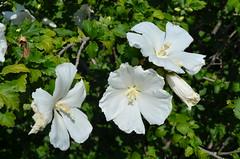 Flowers at the University of Kansas (jeffreywhittle) Tags: kansas lawrencekansas