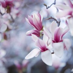 Magnolia Liliflora (yocca) Tags: flower film nature topf25 t spring flora fuji dof bokeh 100v10f hasselblad magnolia botanic fff 500cm carlzeiss  magnolialiliflora plannar 2013 pro400   persephonesgarden mar2013