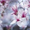 Magnolia Liliflora (yocca) Tags: flower film nature topf25 t spring flora fuji dof bokeh 100v10f hasselblad magnolia botanic fff 500cm carlzeiss 木蓮 magnolialiliflora plannar 2013 pro400 紫木蓮 シモクレン persephonesgarden mar2013