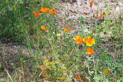 California Poppy (Finatic 's iNaturalist Stream) Tags: californiapoppy