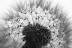 Rain On My Parade (Photography By Crystal Garcia) Tags: blackandwhite bw macro water rain closeup oregon droplets weeds backyard rainyday zoom bubbles dandelion seeds wishes raindrops wish waterdrops upclose seedlings waterdroplets blackdiamond inspiredbylove bwartaward