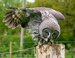 What's down there then Meg (Trev Earl) Tags: canon wildlife owl 5d berkshire wildbird feathersandfur