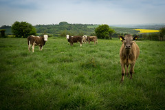 What you looking at? (Ben-Duncan) Tags: animal animals cow looking cows farm farming staring simultaneous