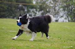 2011_0426_+12 (inmonkey62) Tags: dog flying coin collie pentax border dal bordercollie disc   kx 50300