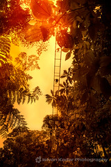 Above the Rainforest (fesign) Tags: nature yellow landscape outdoors leaf rainforest costarica jungle wilderness centralamerica hangingbridges suspensionbridges arenalhangingbridges mountarenal