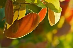 Seasons Of Love (Anna Kwa) Tags: macro art nature colors leaves singapore hortpark lapang butterflyclimber bauhiniasemibifida trailingbauhinia