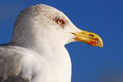 The Gull's way