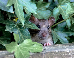 PEEK-A-BOO (the tamron tog) Tags: rat vermin clever intelligent food tail brownrat uk countrypark inquisitive canon 5dmk2 tamronsp150600mm devon
