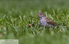 Juvenile chipping sparrow (eric marceau) Tags: animal bird chipping sparrow quebec canada wild wildlife