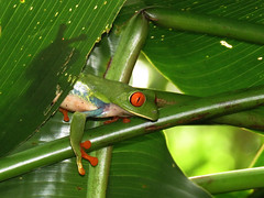 RETF_2016 (Surfishrink) Tags: nature redeyedtreefrog portrait amphibian mombacho red blue green