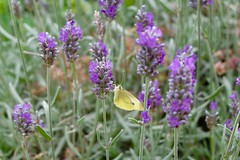 The Lavender And The Butterfly (Anna Hari) Tags: 2016 summer uk england fujifilm xm1 nature garden butterfly pieris rapae white small insect animal lavender purple flower