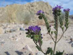 Only the Strong Survive (zoniedude1) Tags: california desert spring wildflowers springinthedesert phacelia scorpionweed phaceliacrenulata boraginaceae forgetmenotfamily annual native cleftleafwildheliotrope notchleafscorpionweed scallopedphacelia blooming purple flowers meccahills mojavedesert 440ftelevation canyon sky clouds color stark contrast riversidecounty boxcanyon coachellavalley outdoors desertspring2016 outinthewild exploration adventure closeup detail macro nature canonpowershotg12 pspx8 zoniedude1 earthnaturelife
