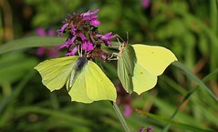 Brimstone Butterfly 170816 (1) (Explored) (Richard Collier - Wildlife and Travel Photography) Tags: insects wildlife naturalhistory butterflies brimstone yellow macro ngc npc