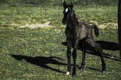 Pony first piss (Osama Ali Photography) Tags: natura naturaleza nature espaa horse horses pony colt poni caballo marsh new born wildlife wild salvaje green verde baby