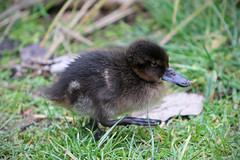 (Paul J's) Tags: wellington karori park ecosanctuary animal bird duck duckling brownteal pateke zealandia