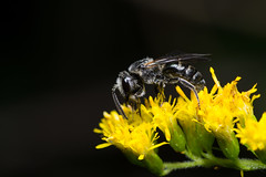 Bee (benevolentkira7) Tags: bee bees pollen flying insect insects bug bugs antenna leg legs eye eyes wing wings