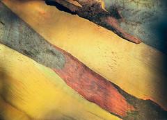 Eucalyptus perriniana detail 4 ** (CactusD) Tags: perriniana apple iphone 6plus london kewgardens gumtree eucalyptus trees detail abstract texture botanic garden mtsub
