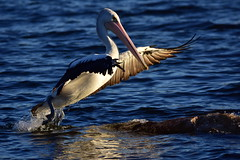 Out of the water (Luke6876) Tags: australianpelican pelican bird animal wildlife australianwildlife water