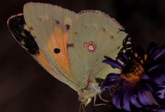Colias croceus - 16 IX 2016 (el.gritche) Tags: lepidoptera france 40 garden pieridae colias croceus coliascroceus fabaceae asternovaeangliae asteraceae