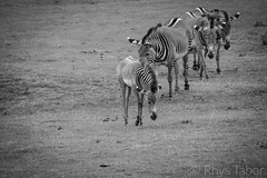 Student becomes the Master (rhystabor) Tags: zebra family teaching friends nature natural zoo black white herd
