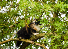Fluffy the explorer (simonevanbergen) Tags: fluffy mrmew simonevanbergen svb tufty black blackandwhite calico cats garden kitten mew