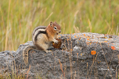 Singing for my supper (Canon Queen Rocks (1,000,000 + views)) Tags: cute small squirrel goldenmantledgroundsquirrel eating wildlife wild nature rock