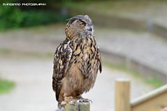 European eagle owl - Avifauna (Mandenno photography) Tags: dierenpark dierentuin dieren animal animals vogelpark avifauna eagle owl european bird birds nederland netherlands