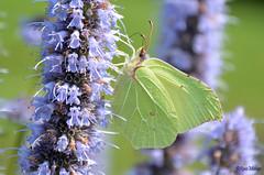 common brimstone (Rene Mensen) Tags: citroenvlinder rene mensen yellow butterfly vlinder nature summer schmetterlinge mariposa gonepteryx rhamni common brimstone ヤマキチョウ