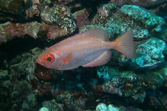 metallic pink  -  Explored Sept. 20, 2016 (BarryFackler) Tags: fish sealife scuba marinebiology undersea aweoweo commonbigeye heteropriacanthuscruentatus glasseye bigeye hcruentatus pink water westhawaii ecology ecosystem reef tropical underwater island outdoor ocean sea coral organism marine bay pacificocean animal diver hawaiianislands polynesia sandwichislands honaunaubay vertebrate pacific zoology bigisland marinelife 2016 aquatic barryfackler southkona dive marineecosystem seacreature fauna biology kona sealifecamera hawaii marineecology saltwater coralreef bigislanddiving diving hawaiiisland konadiving hawaiicounty nature honaunau creature hawaiidiving being konacoast barronfackler explore explored inexplore