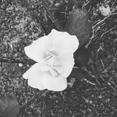 White Rose, 2016 (Eleni Karadagli) Tags: blackwhite black white roses whiterose nature flower impure purity