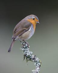 Robin (peterspencer49) Tags: peterspencer peterspencer49 robin uk scotland